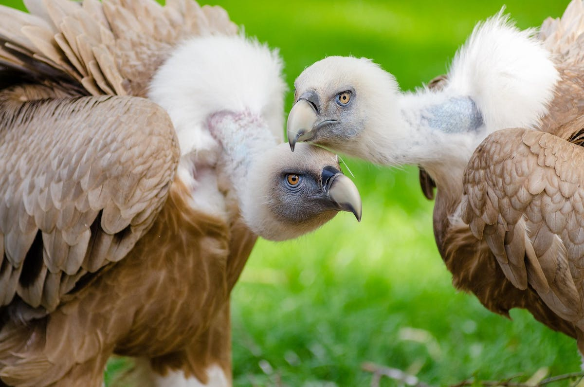 Brown and white vultures standing on grass field in close up 145957